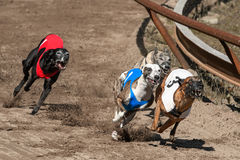 Competindo whippets Fotos de Stock Royalty Free