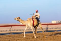 Competir con camellos, Dubai, United Arab Emirates imagen de archivo libre de regalías