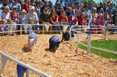 Competir con cerdos Imagen de archivo libre de regalías
