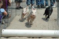 Competir con cerdos imagenes de archivo