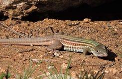 Competir con el lagarto Fotografía de archivo