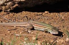 Competir con el lagarto Imágenes de archivo libres de regalías