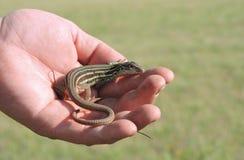 Competir con el lagarto Imagen de archivo