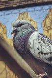 Competir con el retrato de la paloma Imagenes de archivo