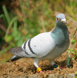 Competir con la paloma Foto de archivo