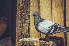 Competir con la paloma Fotos de archivo libres de regalías