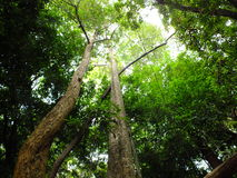 Competiting green tree canopy in a forest with bright sunlight Royalty Free Stock Photography