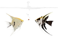 The competition. Two angel fish competing for a food pellet stock photo