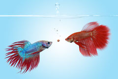 The competition. Two betta fishes competing for a food pellet Royalty Free Stock Image