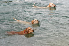 Competition. 3 dogs swimming in the ocean Royalty Free Stock Images