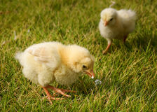 The competition is closing in. Yellow chicken gallus gallus domesticus chick standing on grass with guarded posture. Has small piece of popcorn in its beak Royalty Free Stock Photo