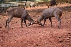 COMPETITION DEER FIGHT IN THE FOREST Stock Image