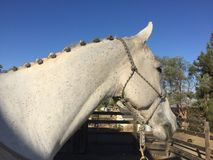 Paso Robles october 2017 - plaited braided gray quarter horse gelding. Competition ready show horse sports a lovely neck of braids plaits wearing a gray and blue Royalty Free Stock Photos