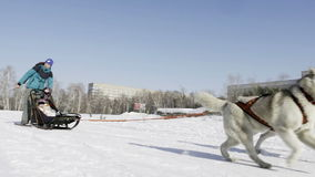 Competition in sled dog racing and skijoring stock footage