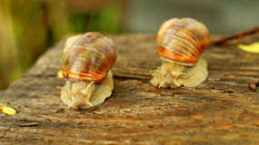 Competition in speed between two big snails Stock Image