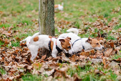 Competition: two male dogs peeing on a tree Stock Photography