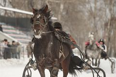 Winter. Running is a test of trotters. Competitions in equestrian sport in the winter. Reportage. Runs - test the horses of trotting breeds for speed in the Royalty Free Stock Image