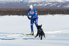 Competitions on skijoring skijor races in Kamchatka Stock Photo