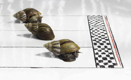 Competitive Snail Racing Stock Photography