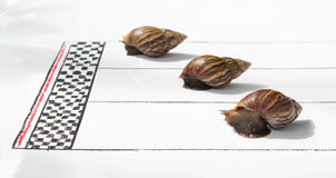 Competitive Snail Racing Royalty Free Stock Photo