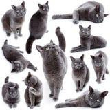 Compilatie van groene eyed Maltese die kat ook als het Britse Blauw wordt bekend Royalty-vrije Stock Afbeelding