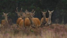 Compilazione femminile dei cervi nobili stock footage