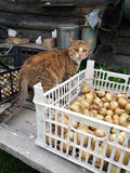 Compiled village harvest and village outdoor cat. Compiled harvest in the garden, outdoor cat exploring it looking for some taste food Stock Photos