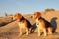 Compinches del beagle Imagen de archivo libre de regalías