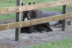 Compinches del burro Foto de archivo libre de regalías