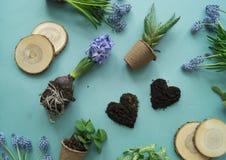 Compisition di Pasqua Il processo di trapianto dei fiori, vista superiore Priorità bassa per una scheda dell'invito o una congrat Immagine Stock Libera da Diritti