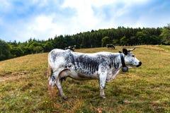 Compita con la vaca bovina en campos de la montaña el tarde del verano imagen de archivo
