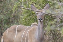 Compita de un Kudu o de un koodoo, Angola fotos de archivo