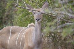 Compita de un Kudu o de un koodoo, Angola fotografía de archivo libre de regalías