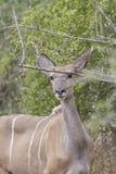 Compita de un Kudu o de un koodoo, Angola foto de archivo