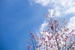 Complètement des arbres de trompette de rose de fleur image libre de droits