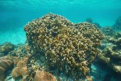 Complanata coralino de Millepora del fuego de la cuchilla del filón imágenes de archivo libres de regalías