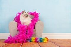 Compleanno del gatto di birmano Fotografia Stock Libera da Diritti