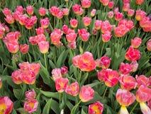 Completamente da flor da tulipa Fotos de Stock