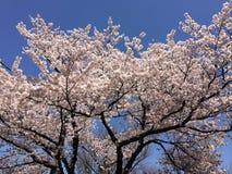 Completamente das flores de cerejeira bonitas Fotos de Stock