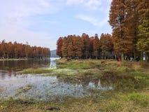 Completamente de árvores de cedro pelo lago Fotos de Stock Royalty Free