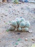 Completamente do cacto do calochlora de Echinopsis do Gymnocalycium foto de stock royalty free
