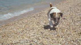 Completamente do corredor do cão de Jack Russell Terrier da energia vídeos de arquivo