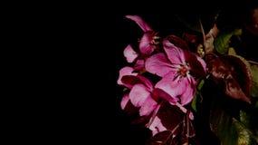 Completamente florescência de flores cor-de-rosa das maçãs com folhas novas Fotografia de Stock
