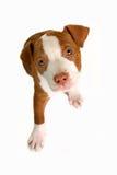 Completamente o cão Foto de Stock Royalty Free