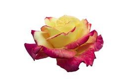 Completamente scoperto, bicolore con il fiore rosa adorabile della pianta di molte tonalità, isolato su bianco immagini stock libere da diritti