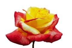Completamente scoperto, bicolore con il fiore rosa adorabile della pianta di molte tonalità, isolato su bianco fotografia stock