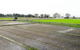 Completamente y sin campo del arroz Imagen de archivo