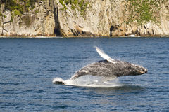 Complete breach of humpback whale. In the Kenai Fjords National Monument, Alaska stock photography