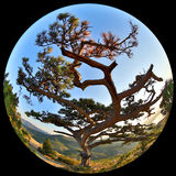 Complete circular fisheye view of the Pine on top of the mountai Royalty Free Stock Images