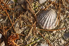 Complete dirty Scallop shell on ground background. Close-up Royalty Free Stock Images
